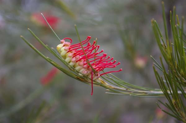 Grevillea coccinea photo
