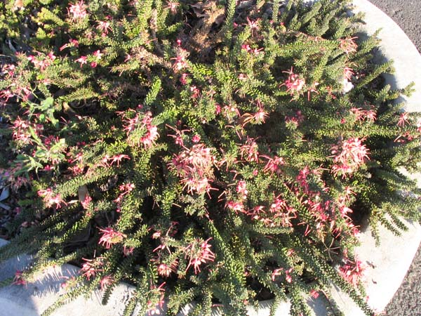 Grevillea lanigera Mt Tamboritha form photo