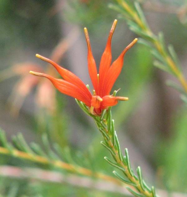 Lambertia ericifolia photo