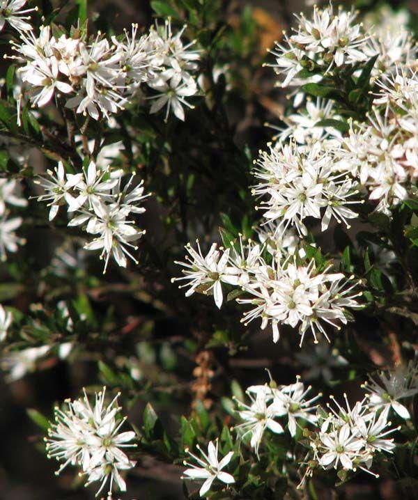 Leionema lamprophyllum photo