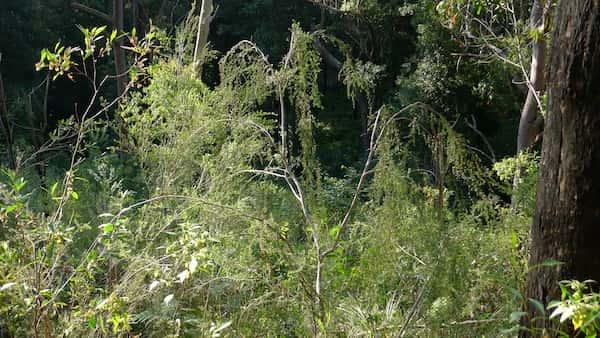 Leptospermum brachyandrum photo