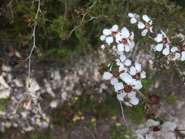 Leptospermum continentale photo