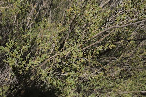 Leptospermum coriaceum photo