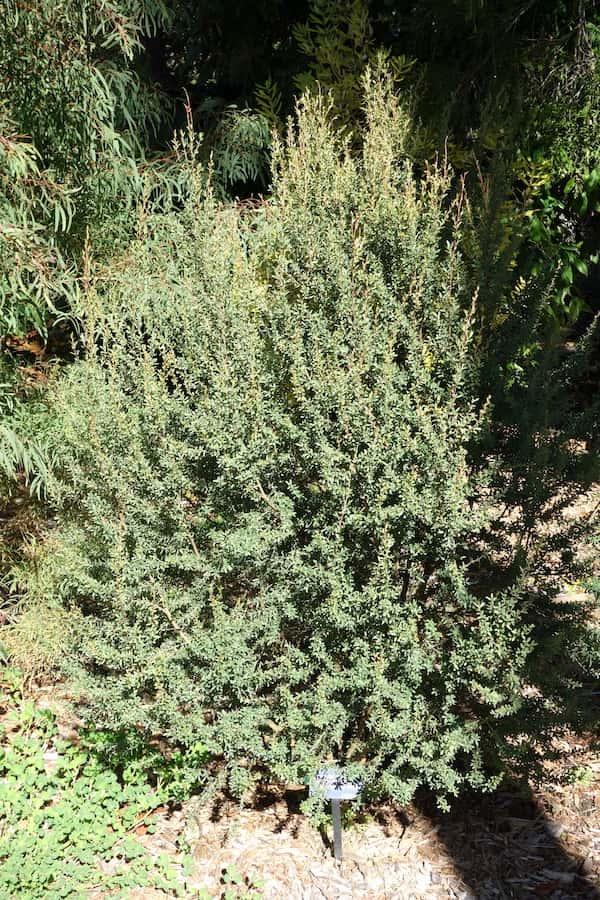 Leptospermum grandiflorum photo