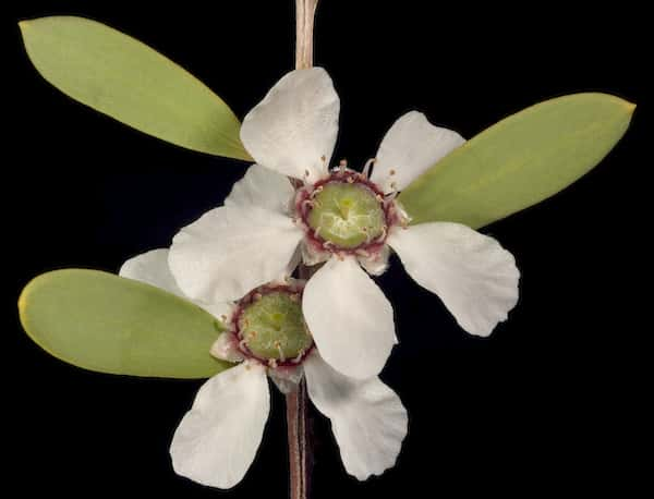 Leptospermum laevigatum photo