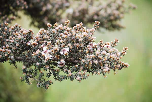 Leptospermum lanigerum photo