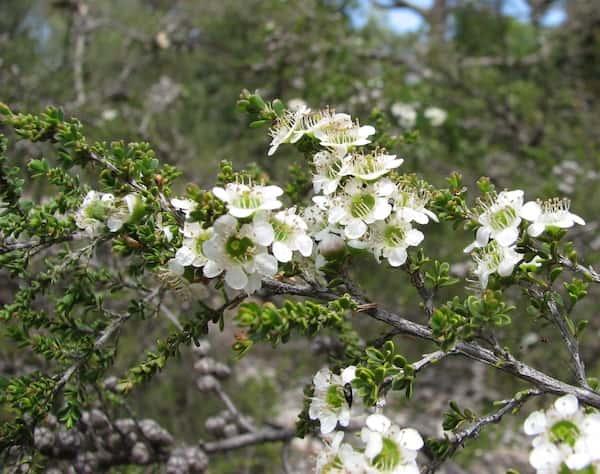 Leptospermum liversidgei photo