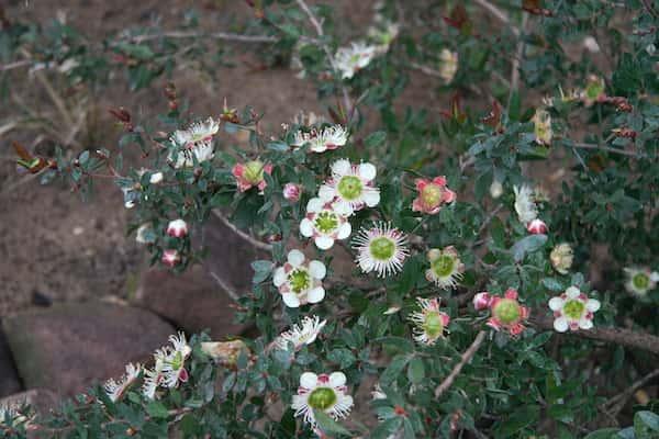 Leptospermum macrocarpum photo