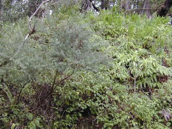Leptospermum morrisonii photo