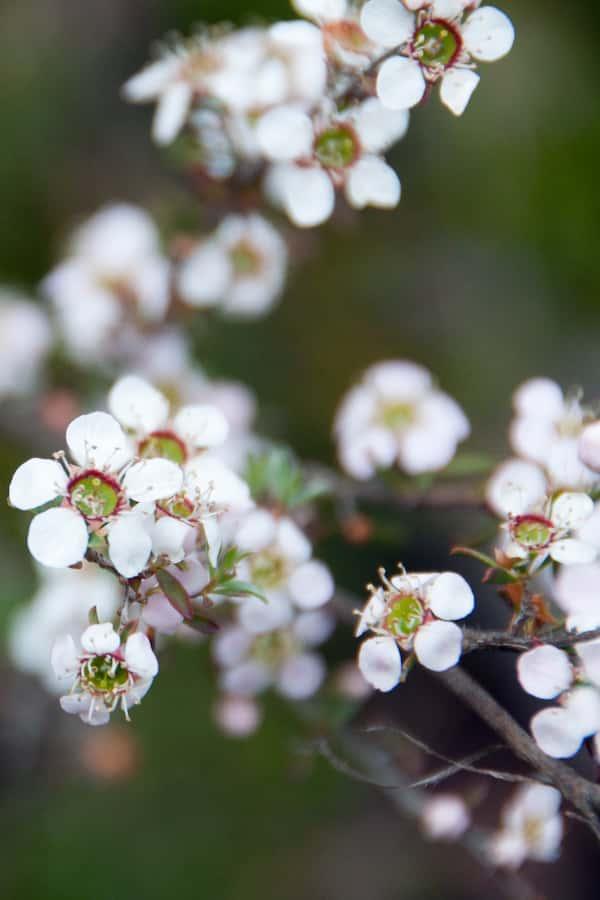 Leptospermum myrsinoides photo