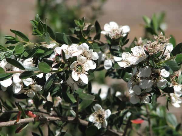Leptospermum nitidum photo