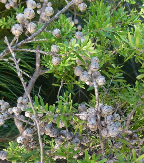 Leptospermum obovatum photo