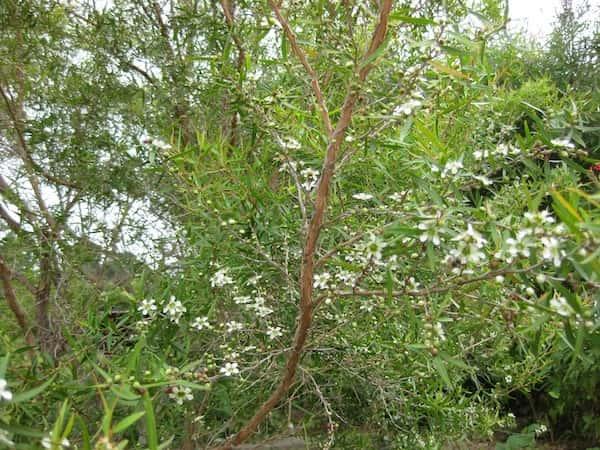 Leptospermum petersonii photo