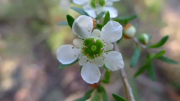 Leptospermum polygalifolium photo