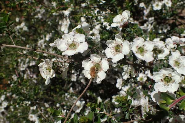 Leptospermum rotundifolium photo