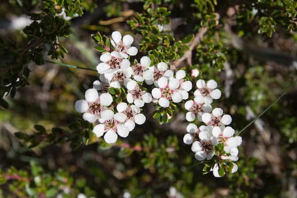 Leptospermum rupestre photo