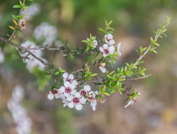 Leptospermum scoparium photo
