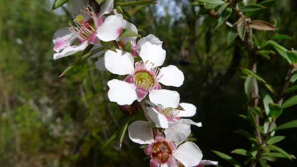 Leptospermum squarrosum photo