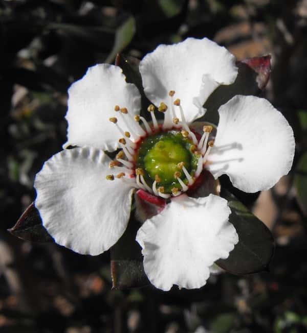 Leptospermum turbinatum photo