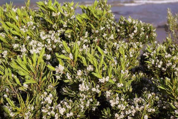Leucopogon parviflorus photo