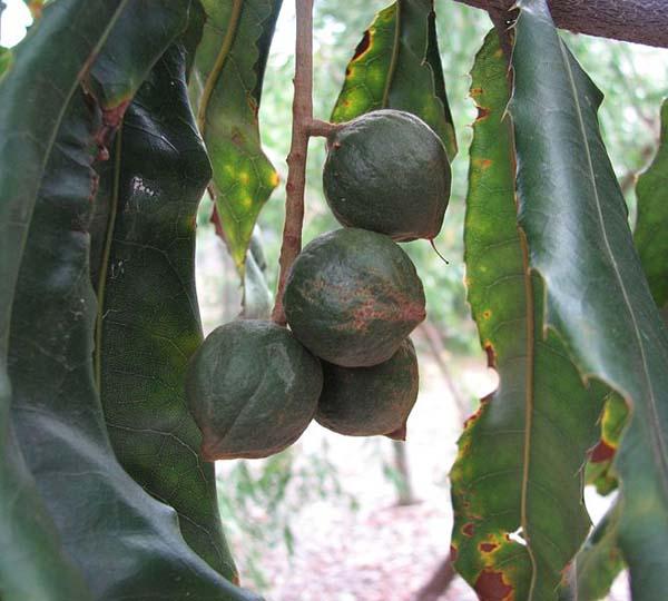 Macadamia tetraphylla photo