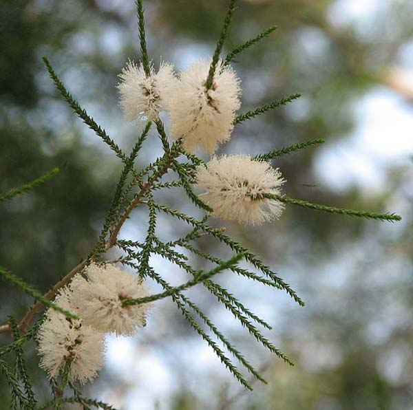 Melaleuca huegelii photo