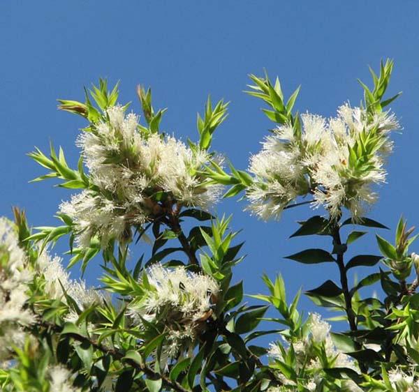Melaleuca styphelioides photo