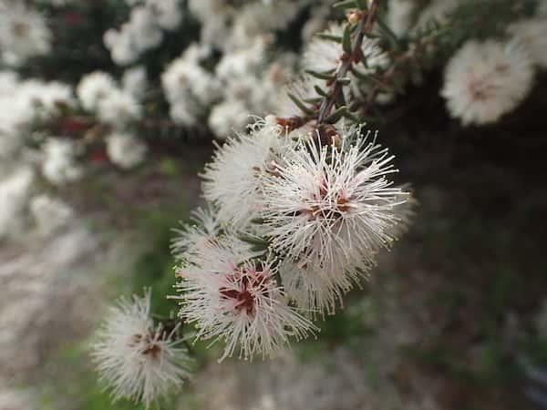 Melaleuca systena photo