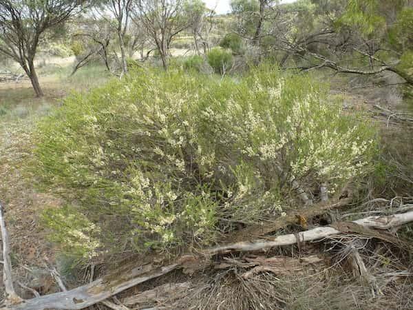Melaleuca acuminata photo