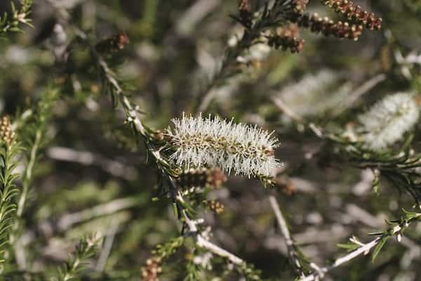 Melaleuca adnata photo