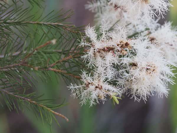 Melaleuca alternifolia photo