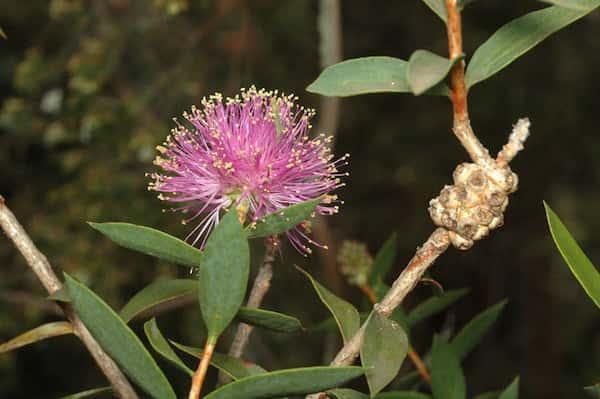 Melaleuca barlowii photo