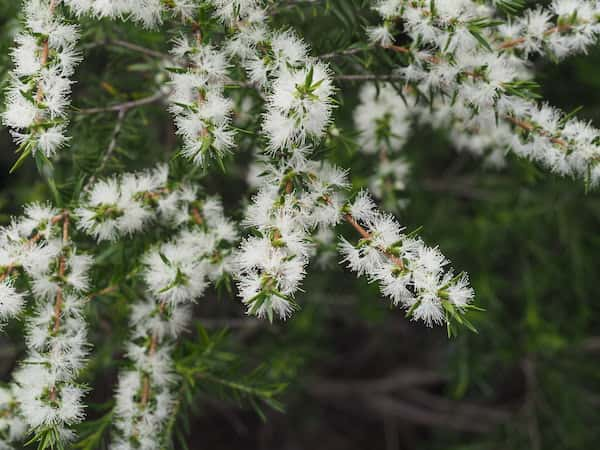 Melaleuca bracteata photo