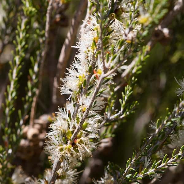 Melaleuca brevifolia photo
