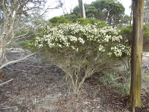Melaleuca bromelioides photo