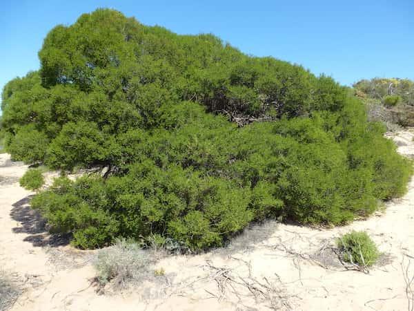 Melaleuca cardiophylla photo