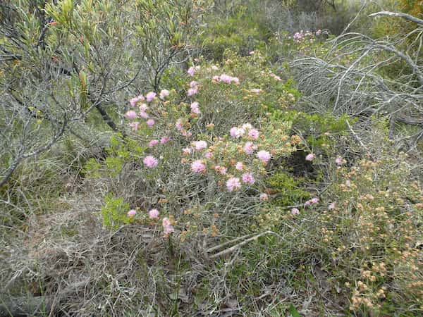 Melaleuca carrii photo