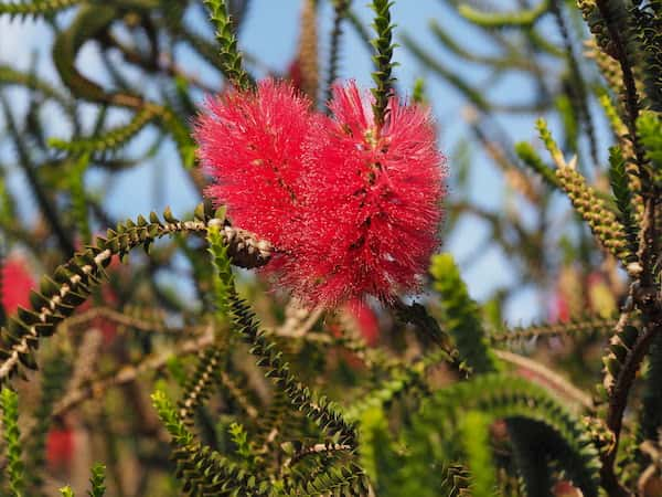 Melaleuca coccinea photo