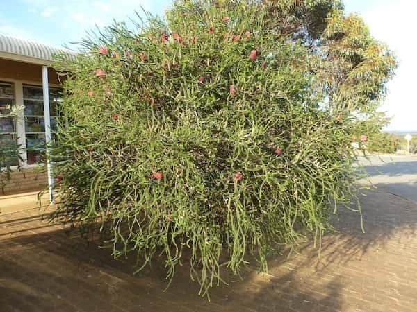 Melaleuca coccinea photo