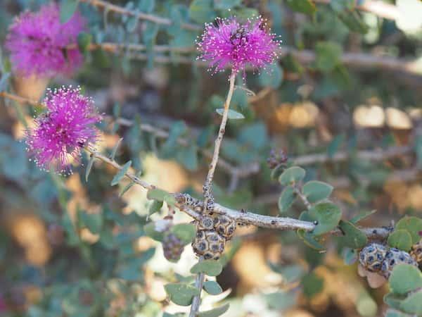Melaleuca cordata photo
