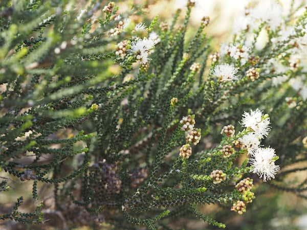 Melaleuca cucullata photo