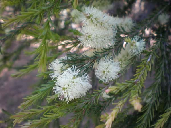 Melaleuca ericifolia photo