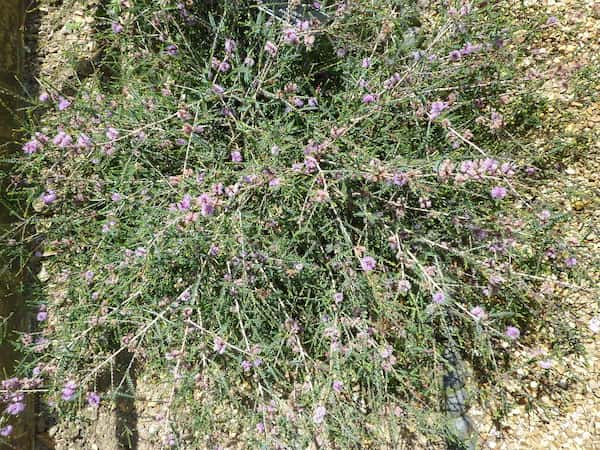 Melaleuca gibbosa photo