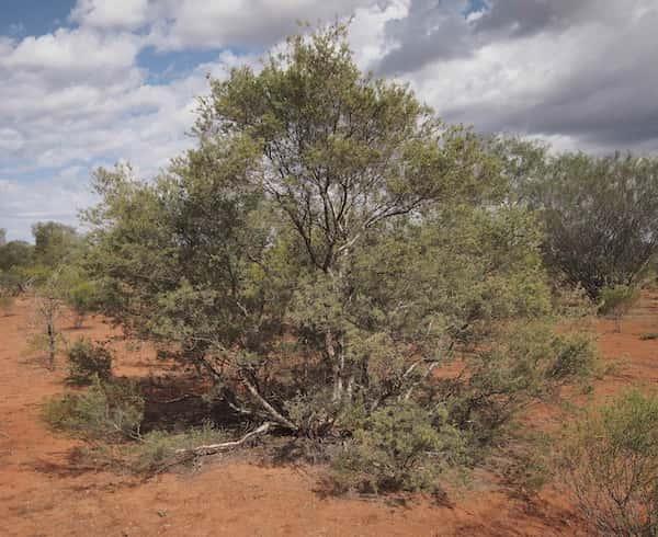 Melaleuca glomerata photo