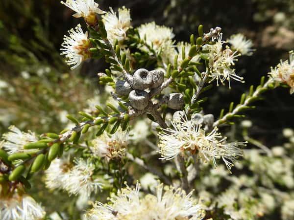 Melaleuca halmaturorum photo