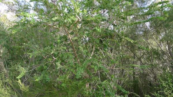 Melaleuca hypericifolia photo
