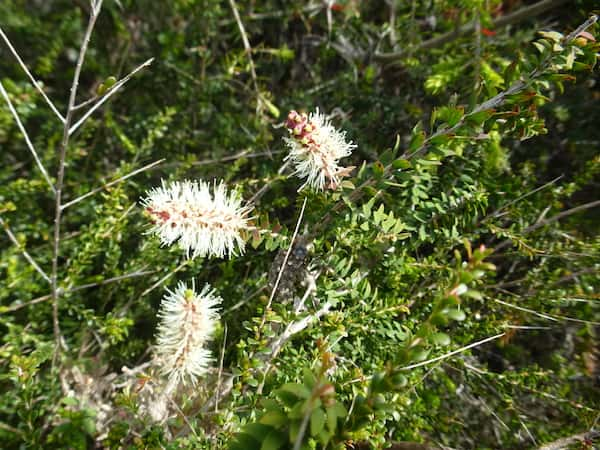 Melaleuca incana photo