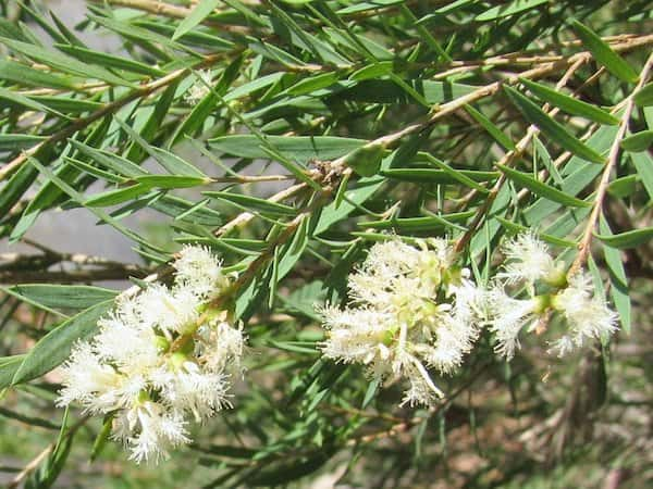 Melaleuca linariifolia photo