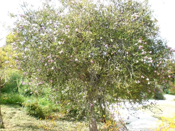 Melaleuca nesophila photo