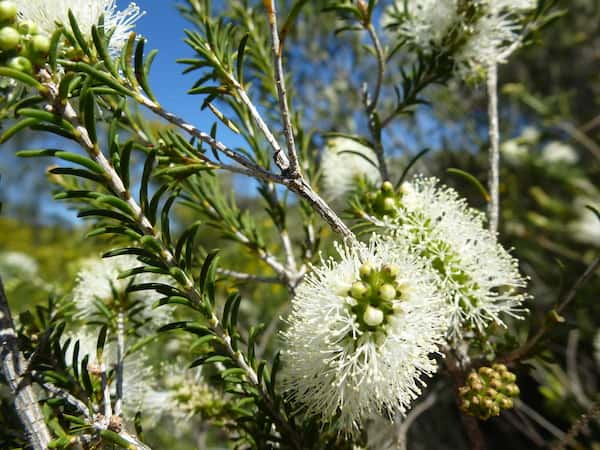 Melaleuca rhaphiophylla photo